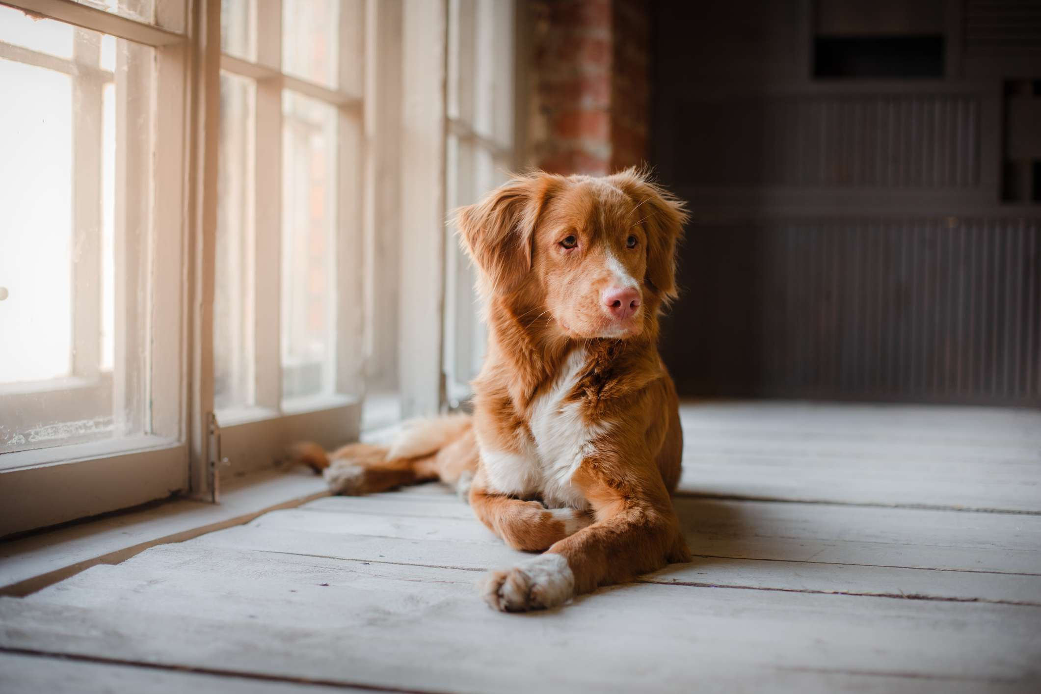Toller laying down inside on wood floor by windows.