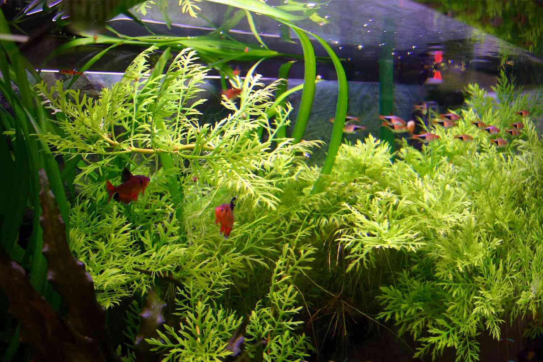 Aquarium plants that change shape