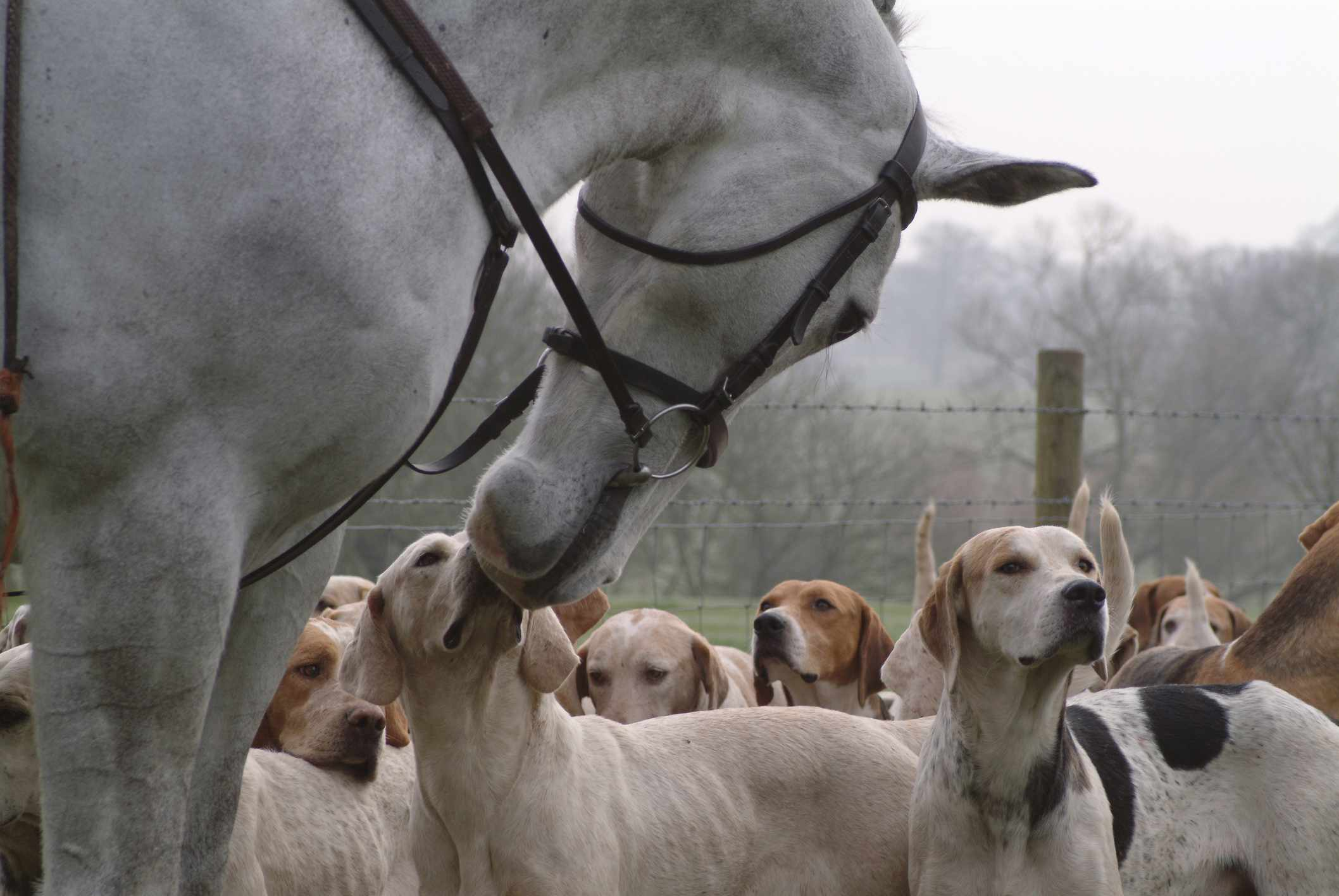 American foxhounds and horse