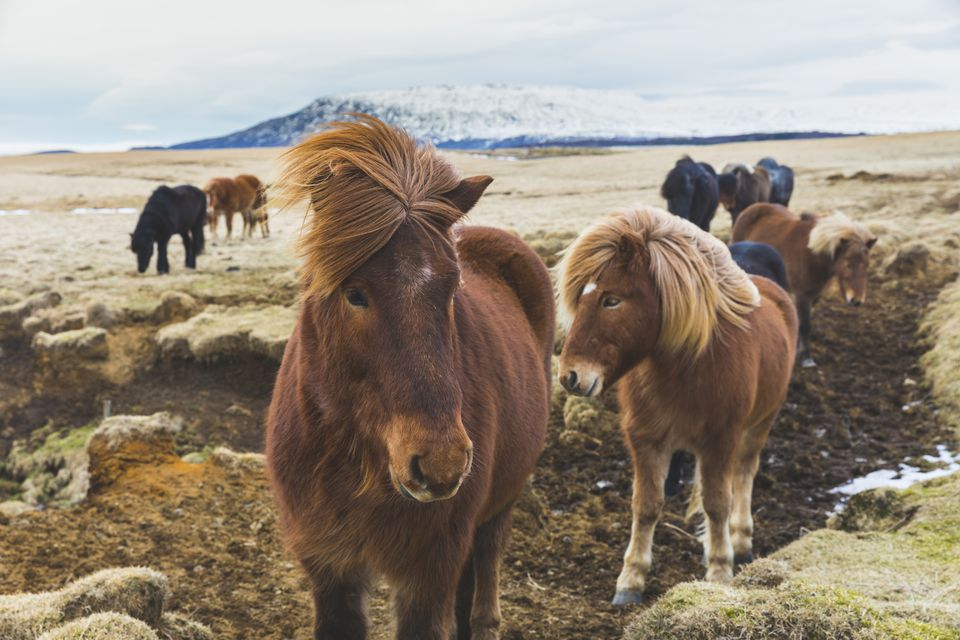 Iceland, Wild horses with snowy mountains in background
