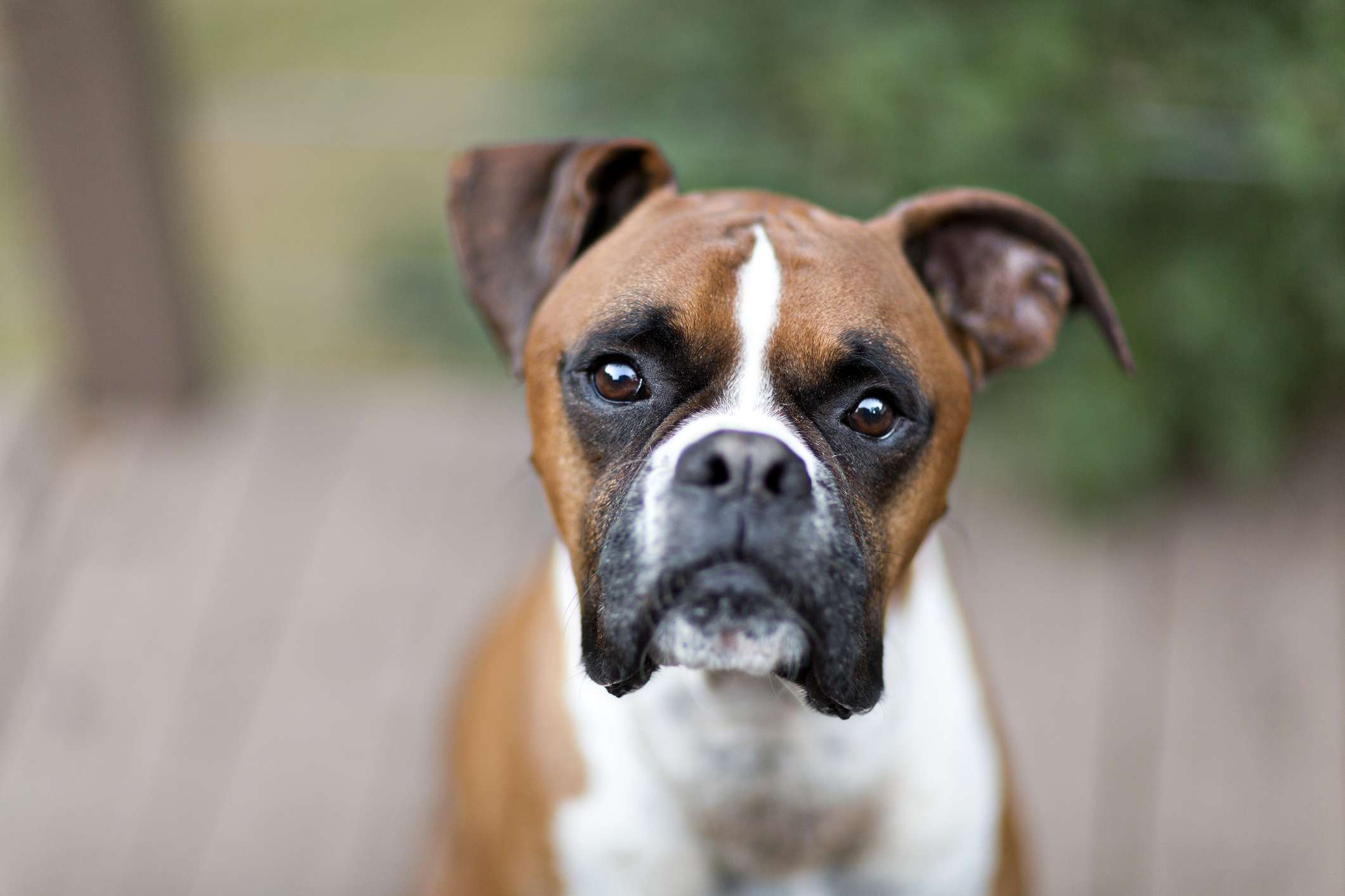 Brown and white boxer