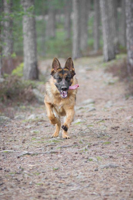 lindo perro de pastor alemán