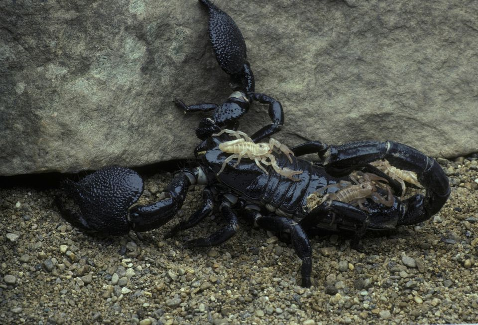 Female emperor scorpion with young
