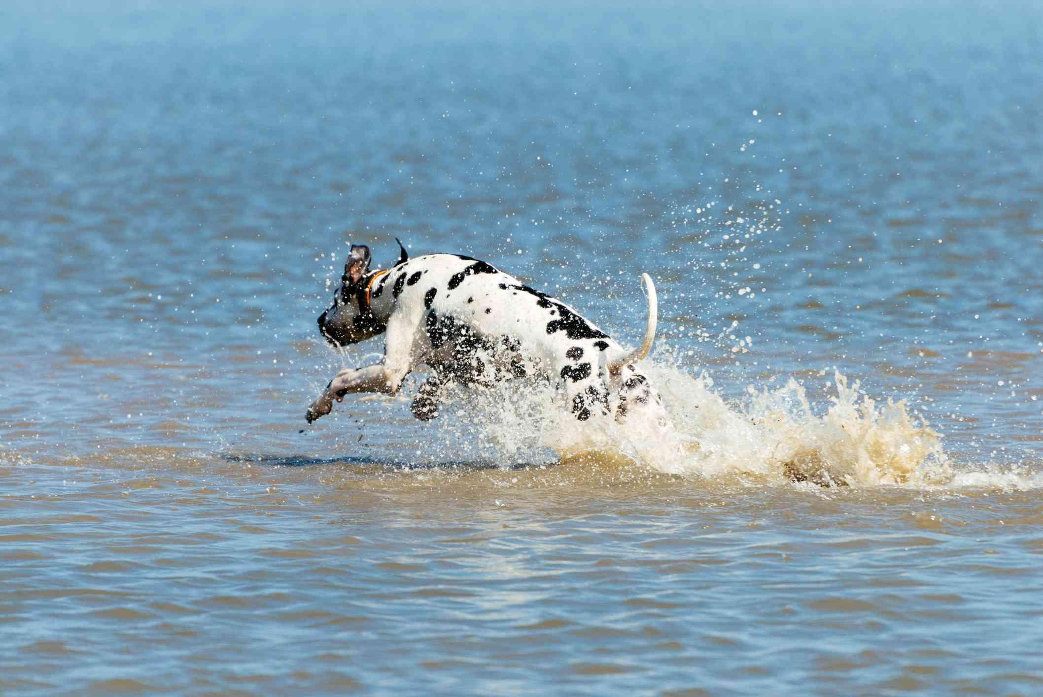 Dalmatian running into water
