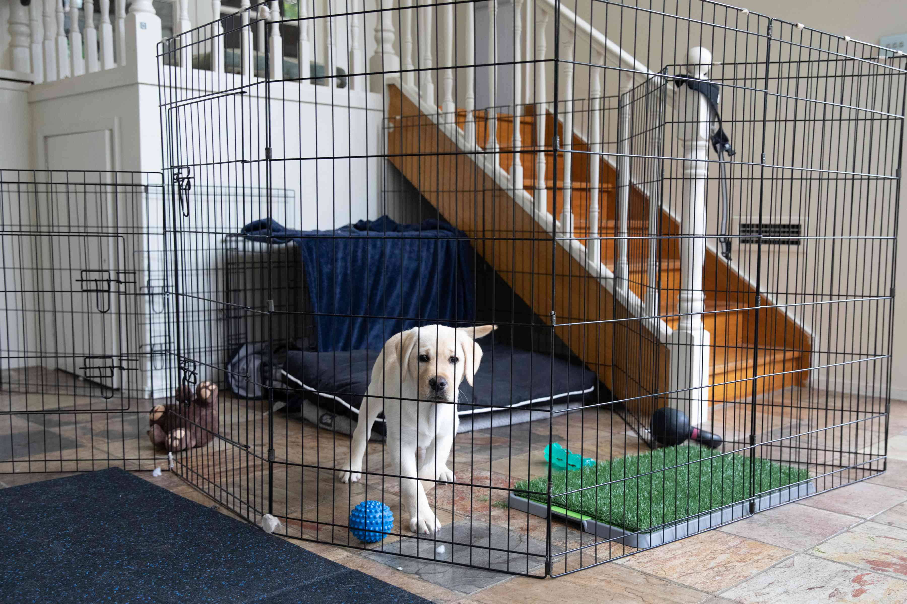 White labrador puppy caged in wire barrier with toys and faux grass pee pad