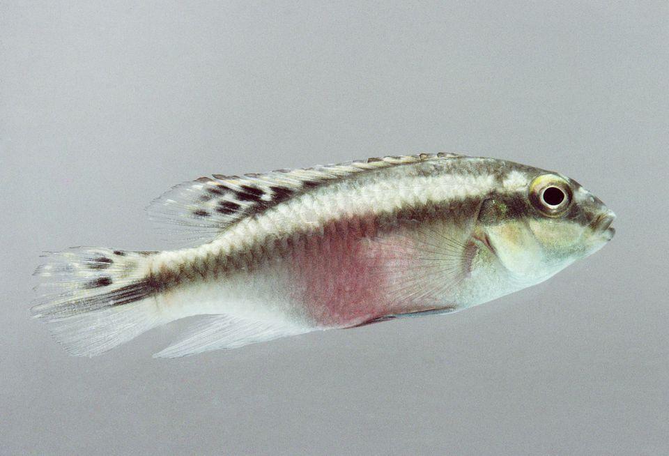 Pez cíclido enano Kribensis, un pez tropical de agua dulce