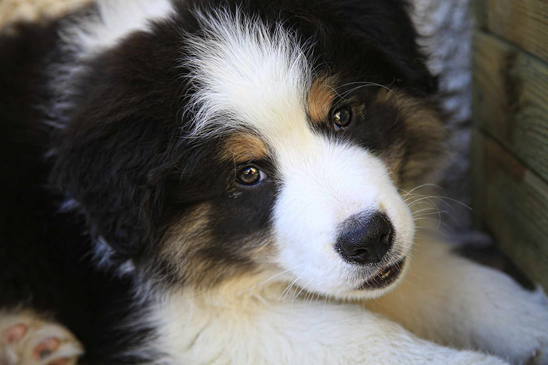 A Border Collie puppy looking into the camera.