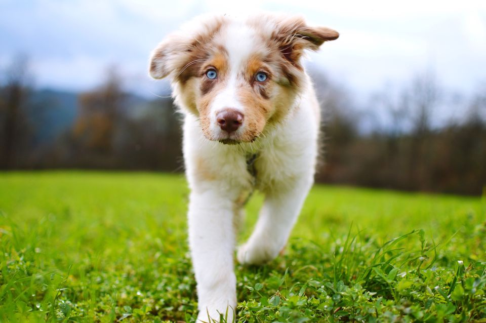 Australian Shepherd puppy with blue eyes walking in field.