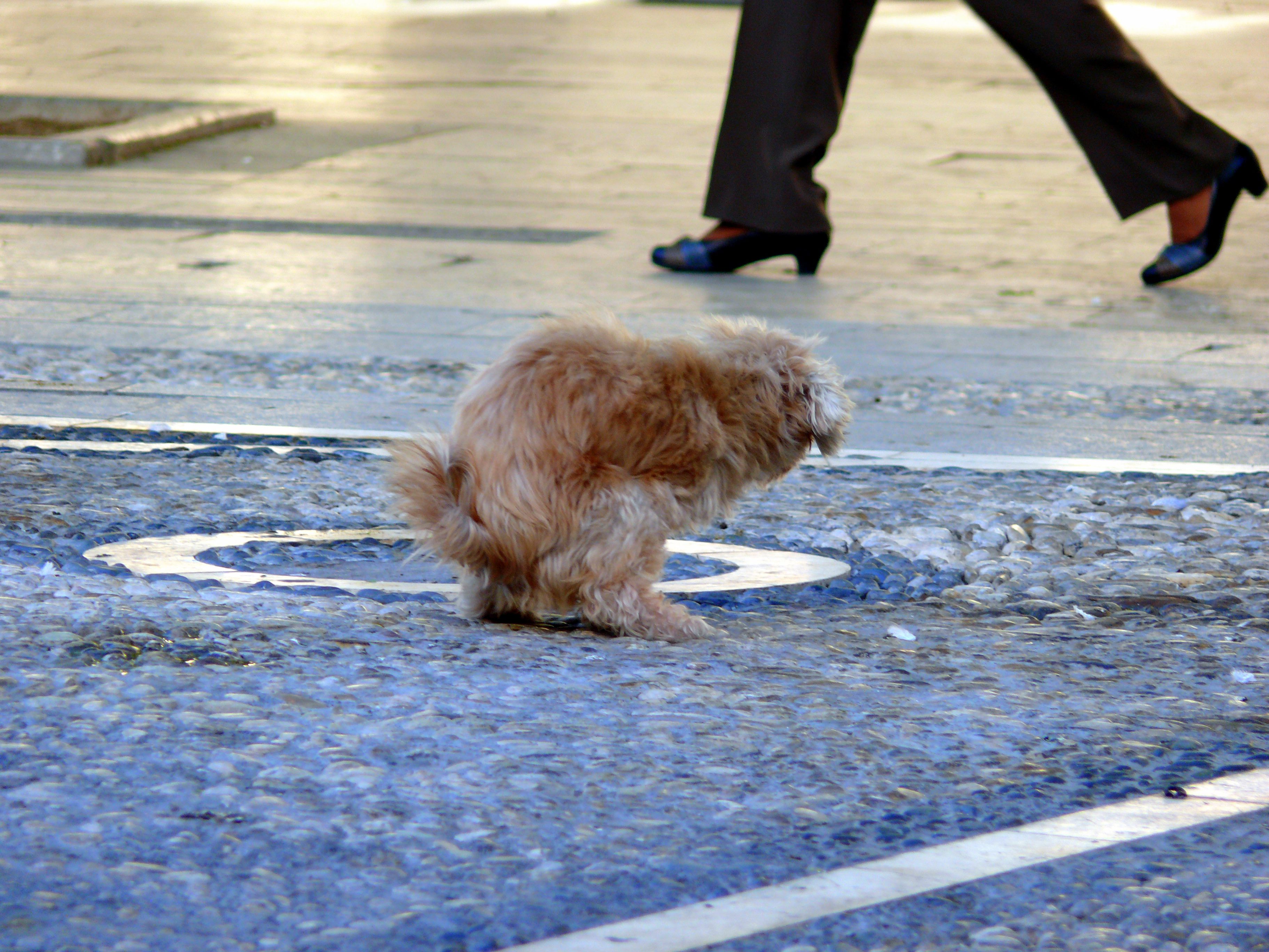 Dog urinating downward in a crouched position