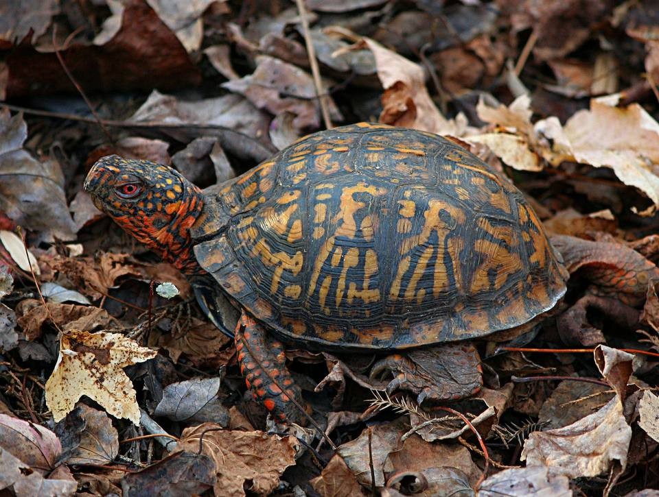 Eastern box turtle in leaves