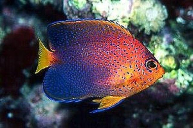 Japanese Angelfish (Centropyge interrupta)