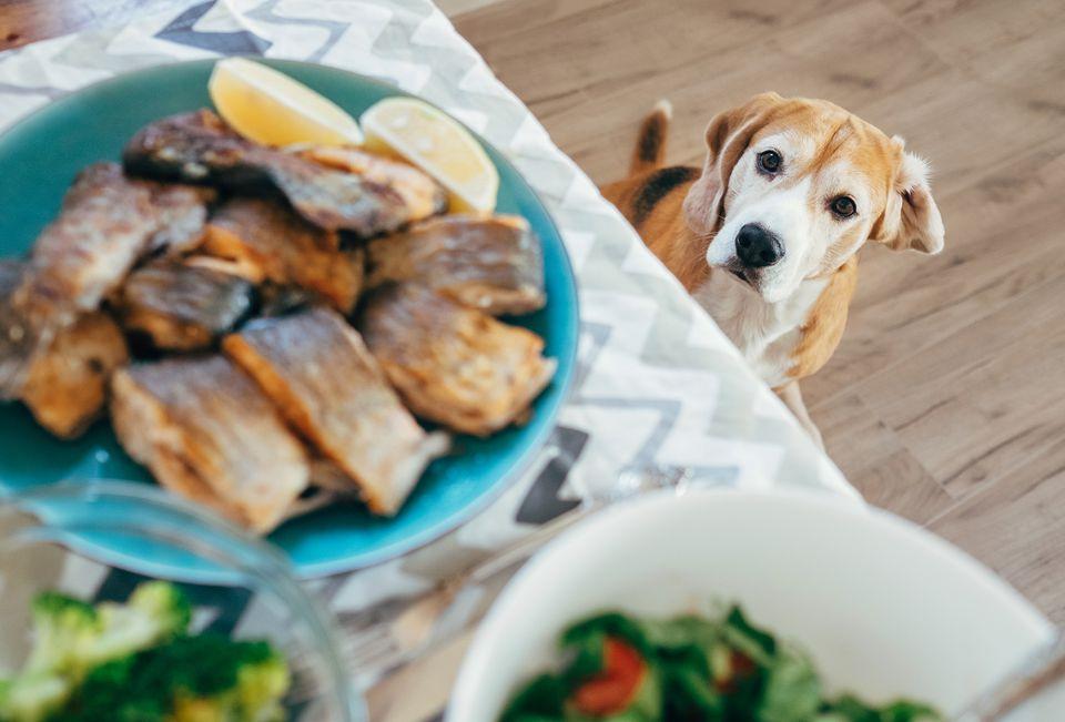 perro mirando salmón