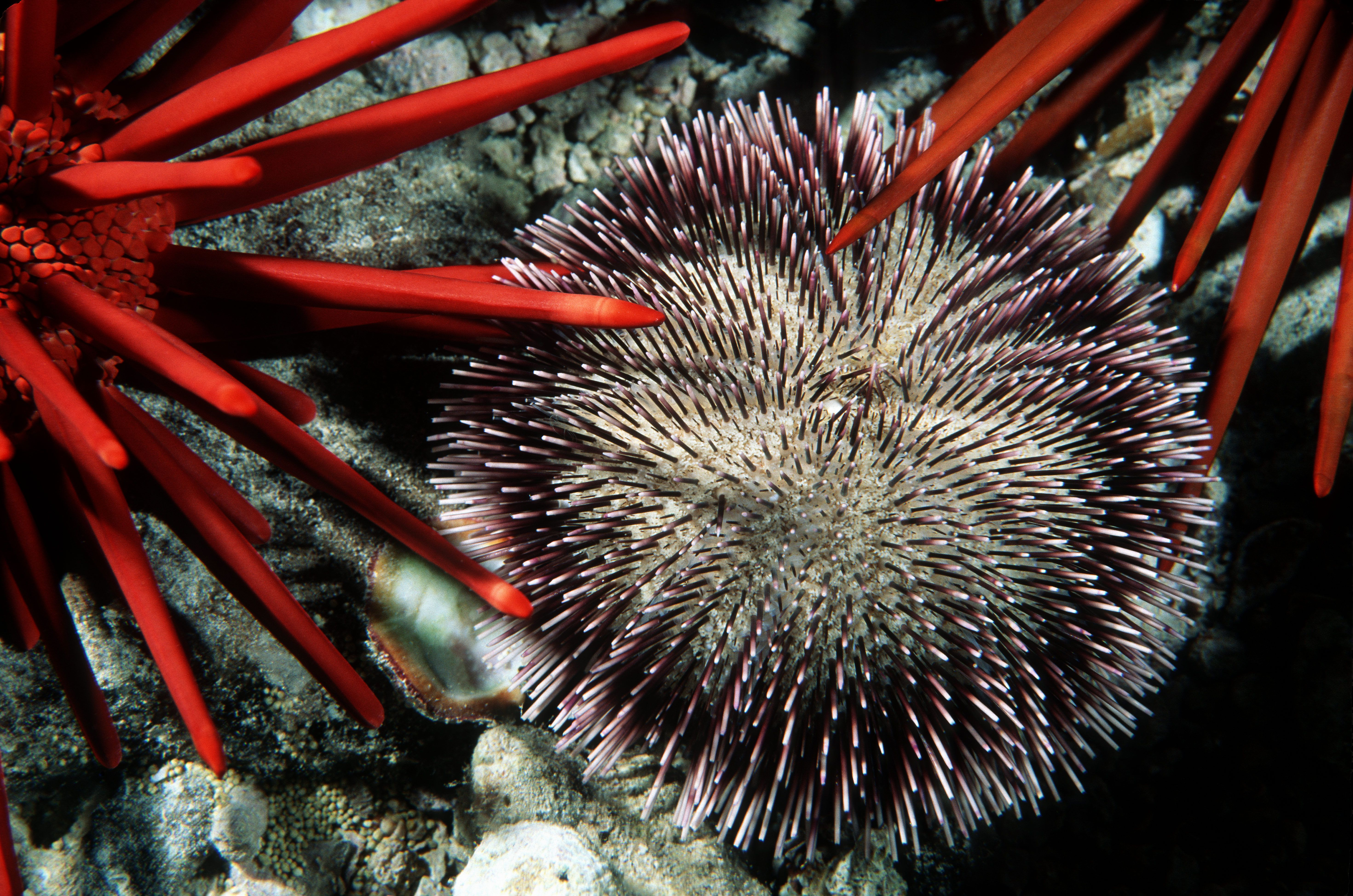 Collector Urchin and Pencil Urchins