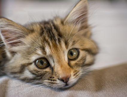 feline cerebellar hypoplasia