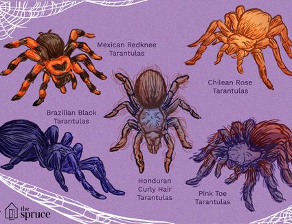 top tarantula species illustration