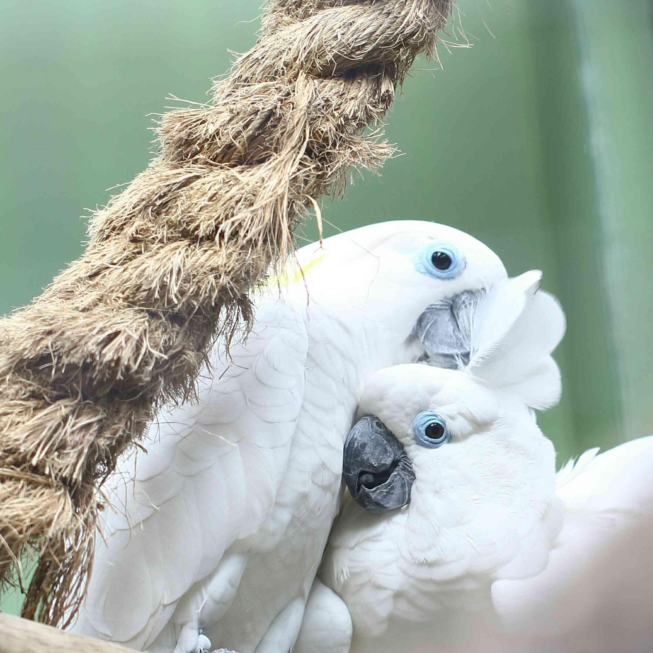 two umbrella cockatoos preening