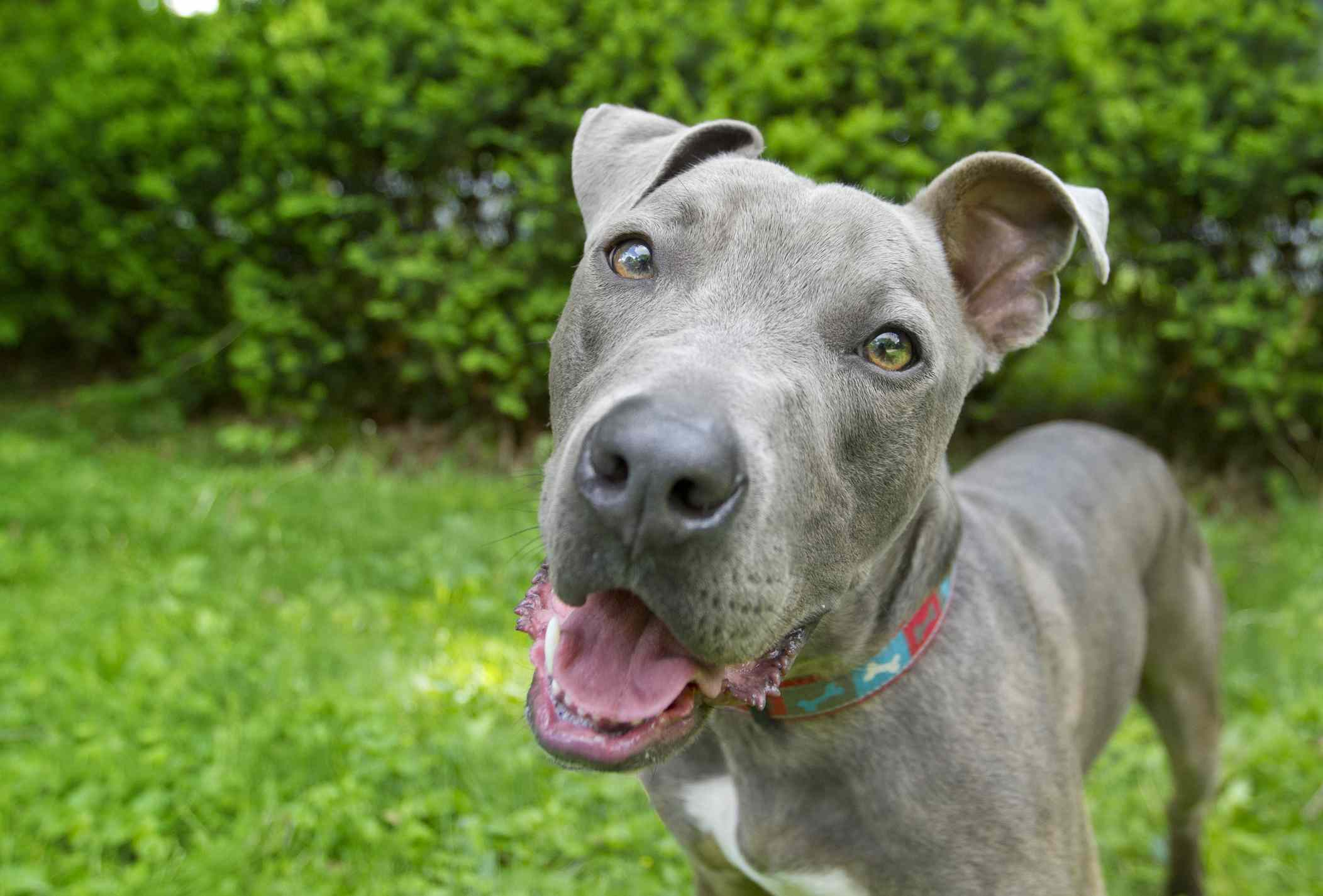 American staffordshire terrier with blue coat