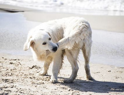 A white dog chasing its tail
