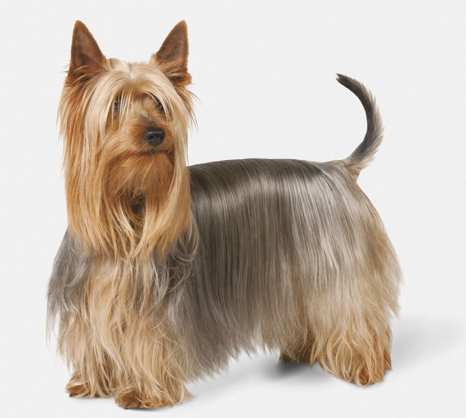 silk terrier silky terrier full profile history and care 3622