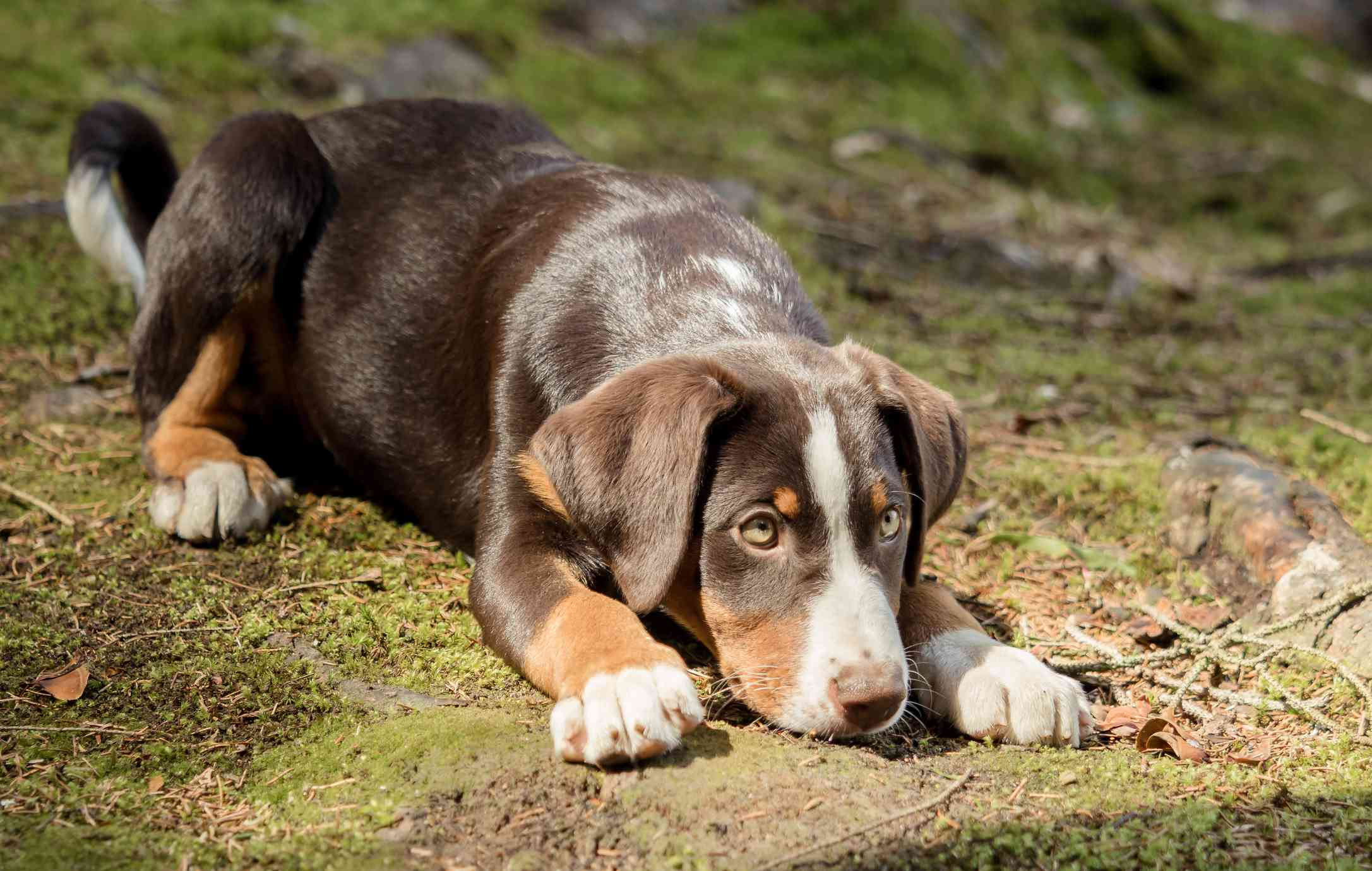 Appenzeller sennenhund puppy lying down