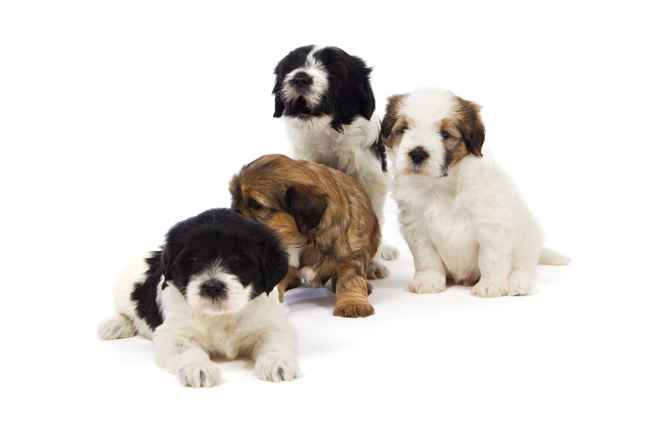 Four Tibetan Terrier puppies