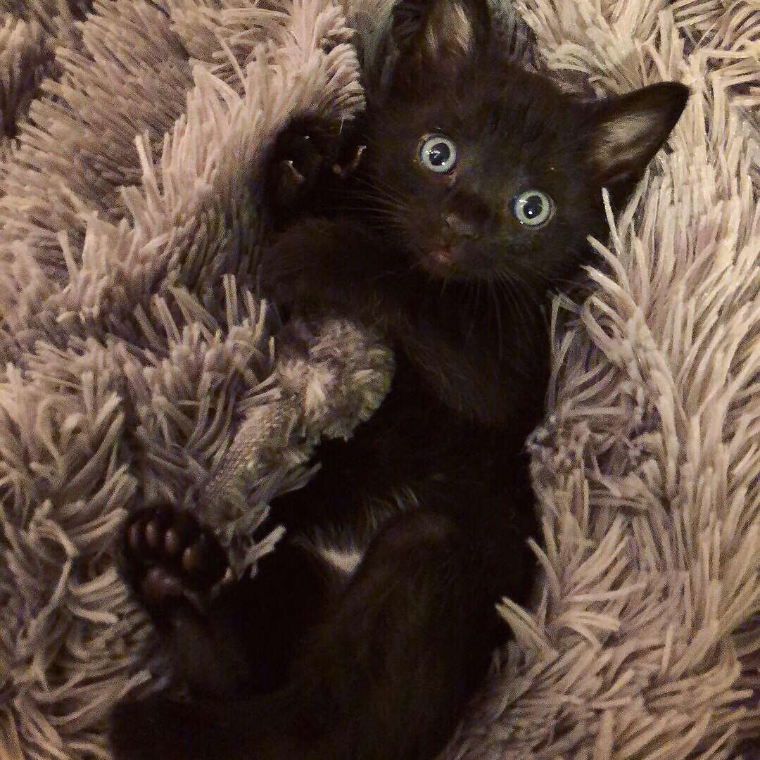 A black polydactyl kitten laying on its back.