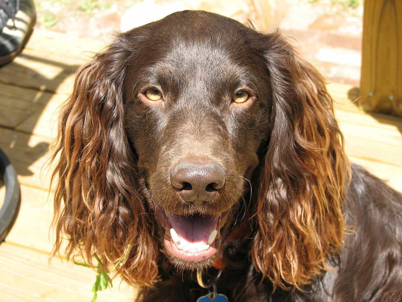 Boykin Spaniel sitting outside smiling up at camera.