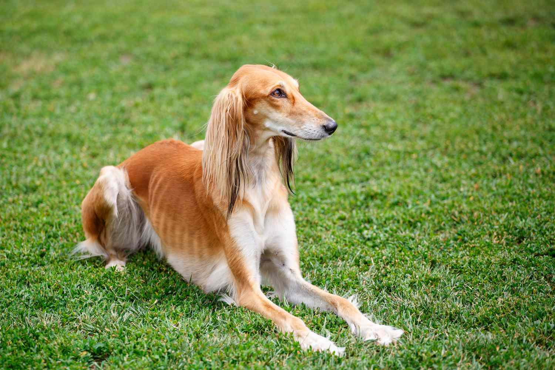 saluki dog