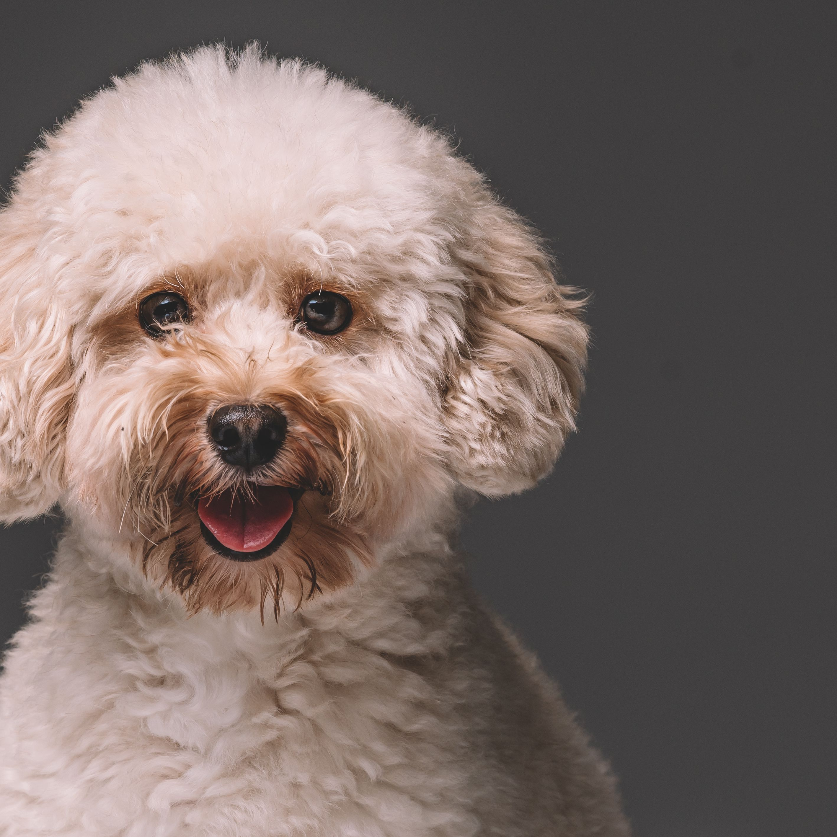 Toy Poodle Full Profile History And Care