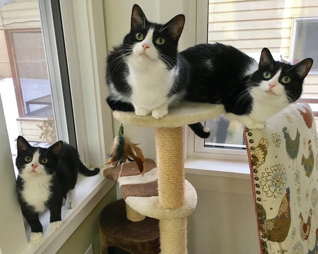 Three tuxedo cats