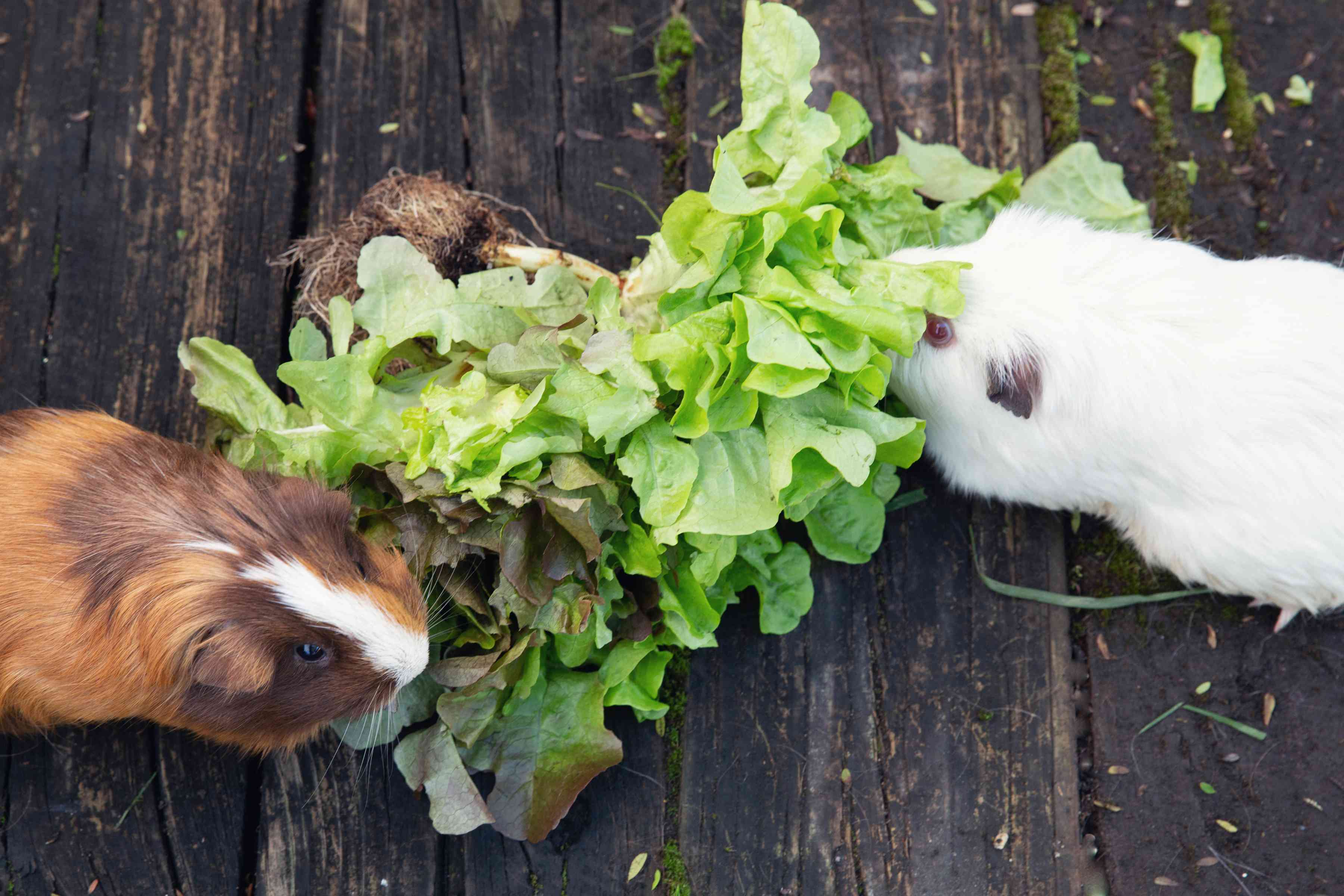 Brown and white guinea pigs eating head of lettuce