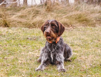 Wirehaired Pointing Griffon Sitting in Grass