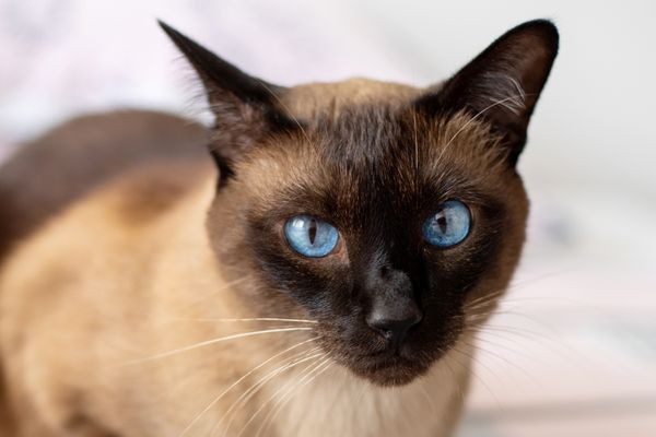 Siamese cat with blue eyes closeup