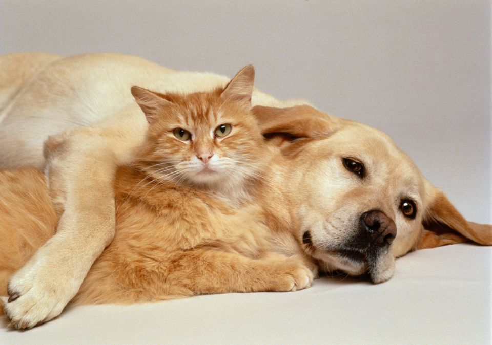 Lab and orange cat cuddling together.