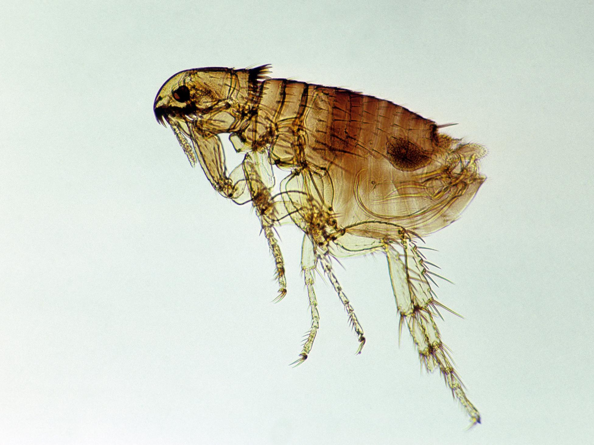 The Life Cycle And Dangers Of Fleas