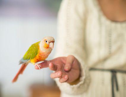 Parakeet on a finger