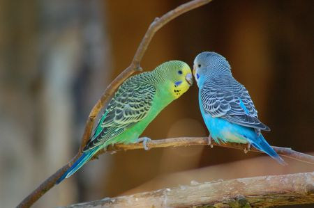 Are Parakeets Parrots? - Question and Answer