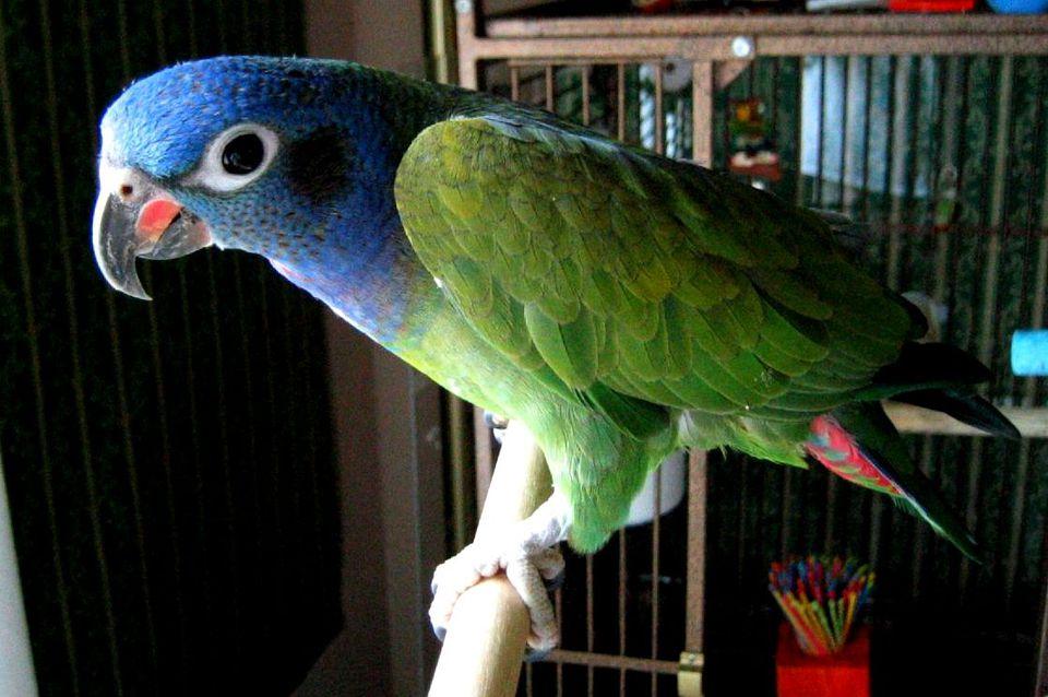 Blue headed pionus parrot