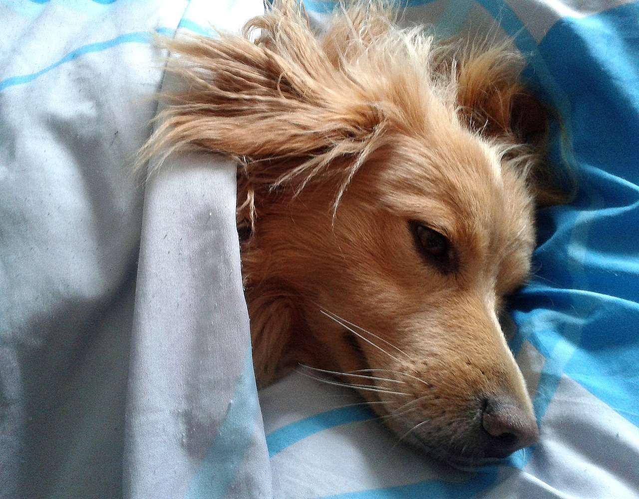 Dog tucked in for bed