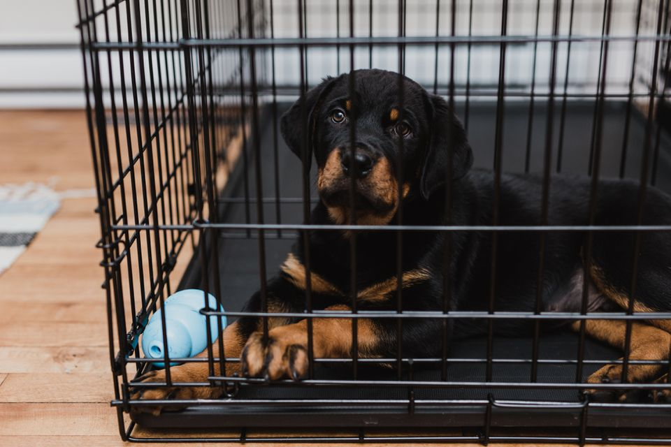 Rottweiler puppy inside its crate with a blue toy.