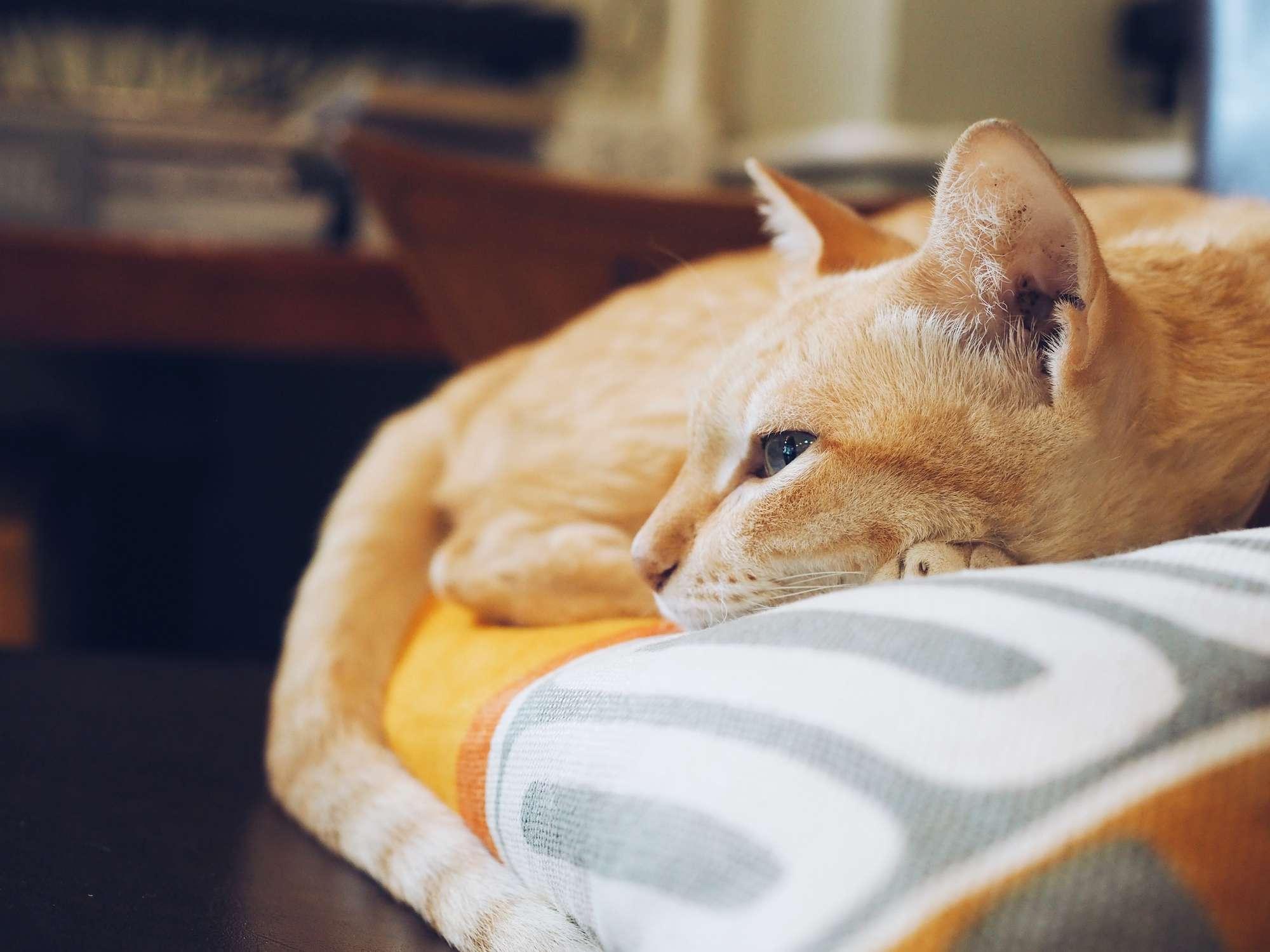 Light orange cat lying on bed