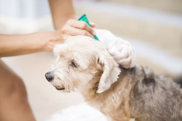 owner applying topical flea and tick ointment to a dog
