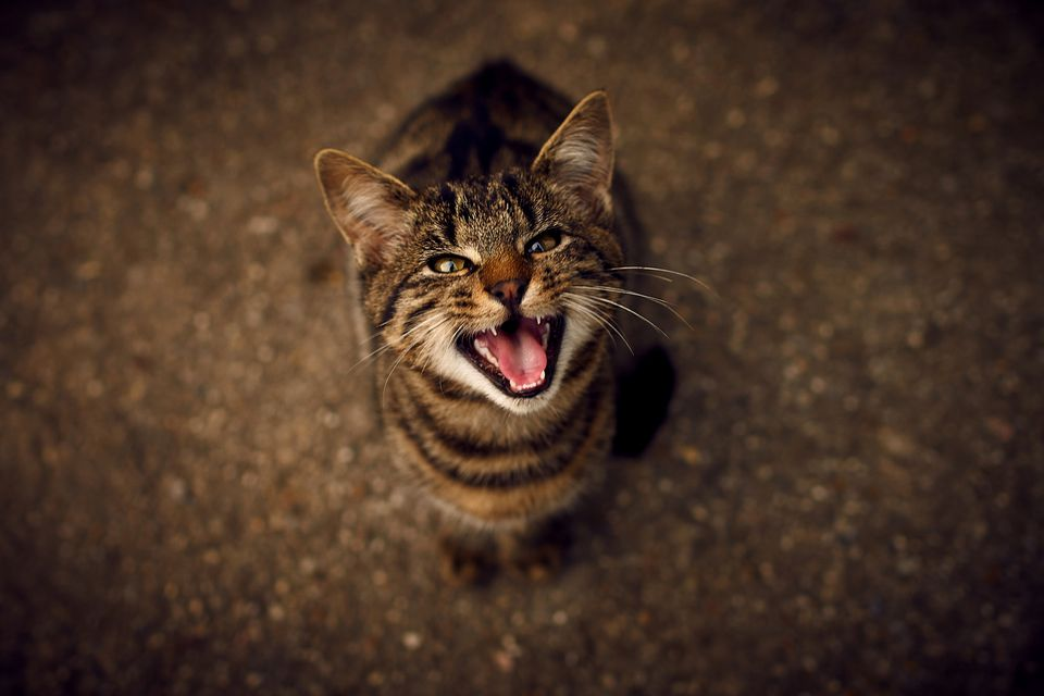 Tabby cat yowling