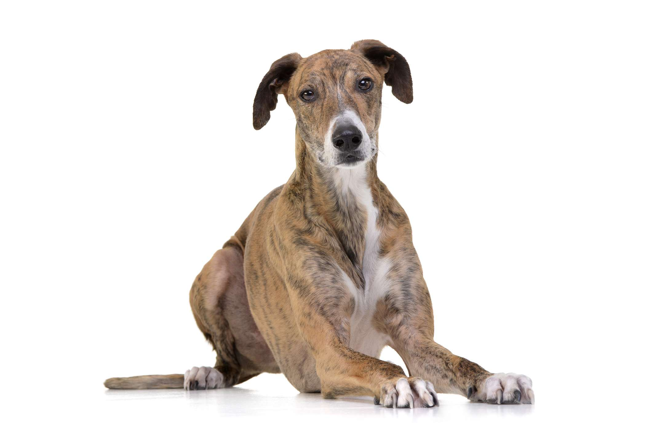 Hungarian sighthound and white background