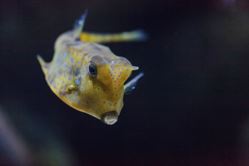 Longhorn Cowfish swimming
