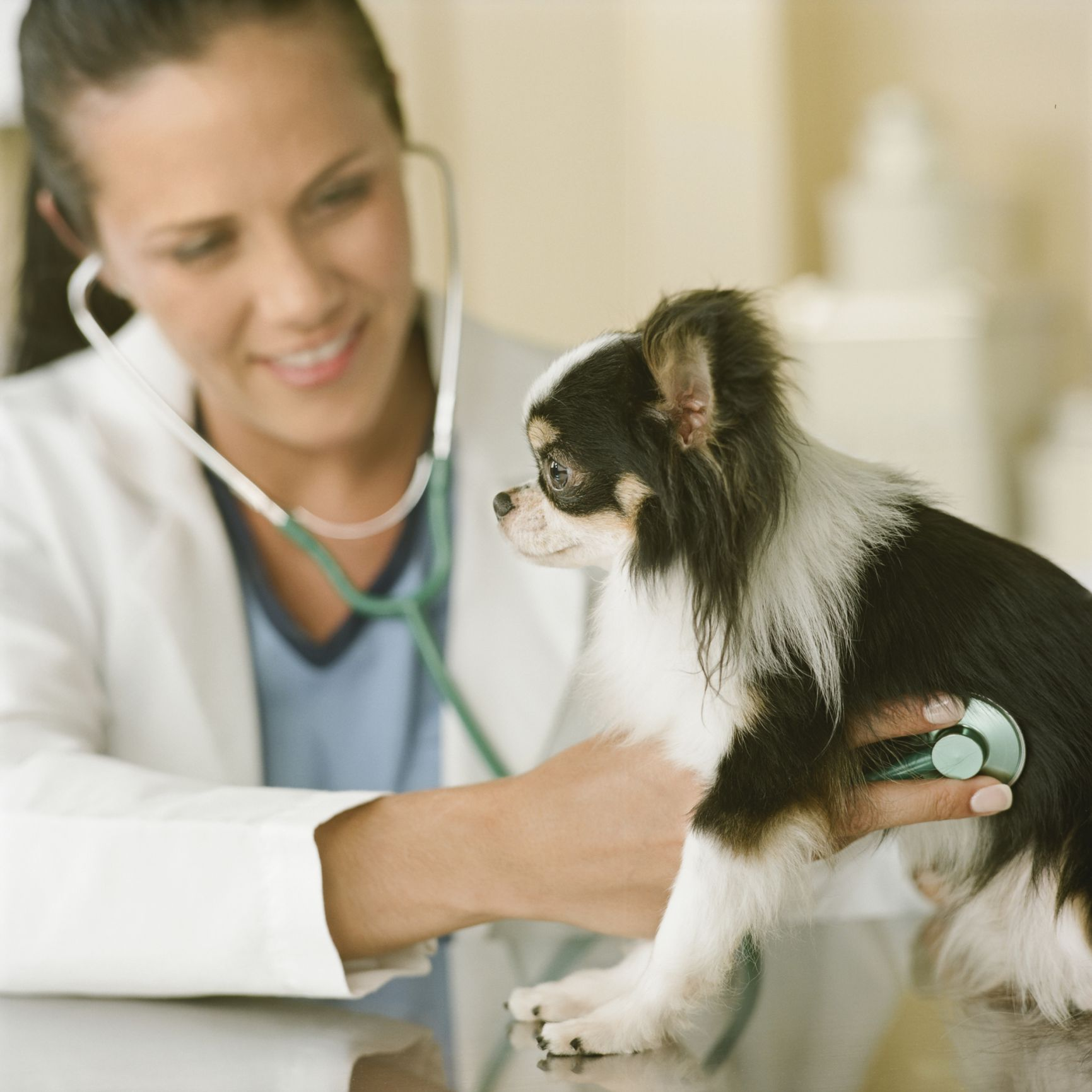 diet for chihuahua with heart attack symptoms