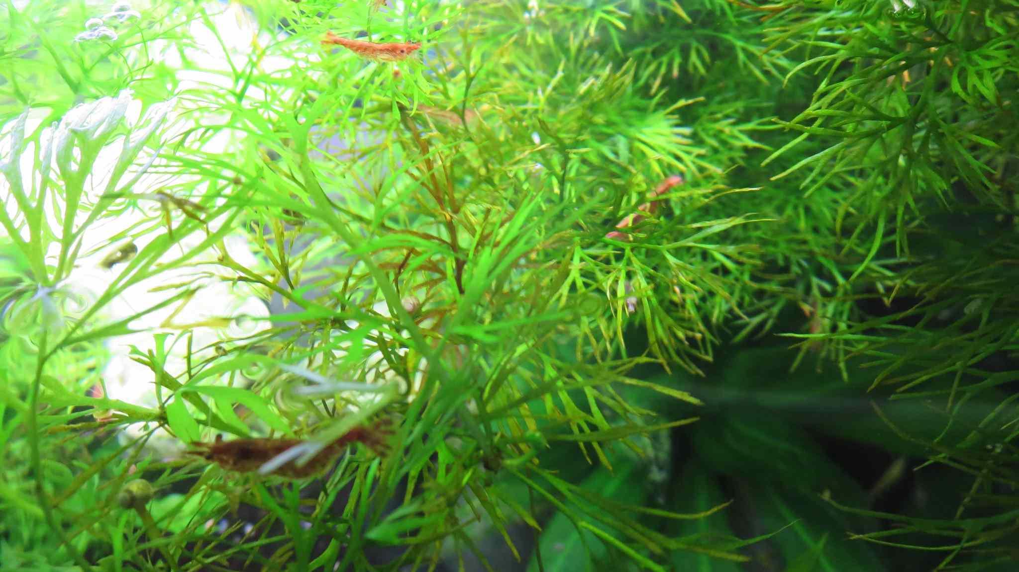 Shrimp in water sprite