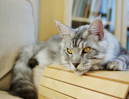 Maine coon on a chair arm.