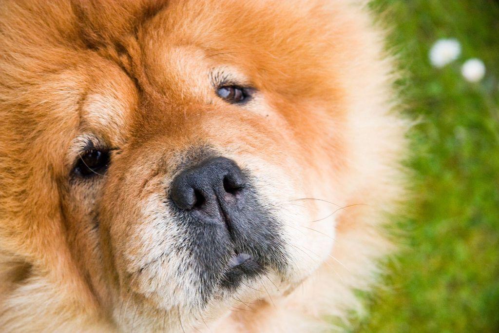 fluffy dog