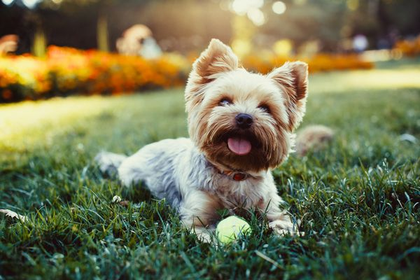 A Yorkie dog sitting in the grass with a tennis ball.